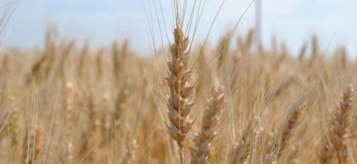 Ущерб от гибели урожая в Башкирии составил порядка 500 млн рублей, однако объемы собираемых культур могут превысить прошлогодние