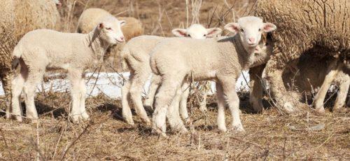 В Башкирии овечью шерсть теперь будут не выбрасывать и сжигать, а перерабатывать: в Зианчуринском районе заработало новое производство