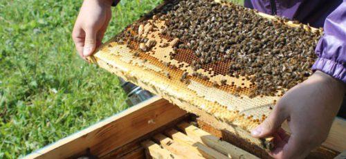 Около 60 млн рублей потратят на сохранение популяции башкирской пчелы: от чего или кого ее защищают?